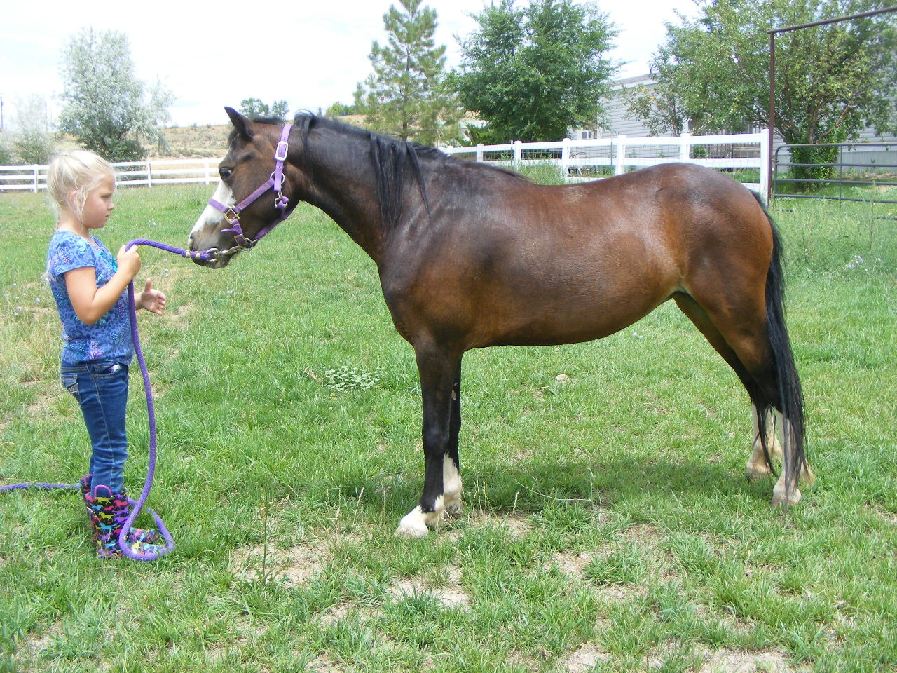 The Promise Monica Welsh Pony for Sale - Weehaven Welsh Ponies