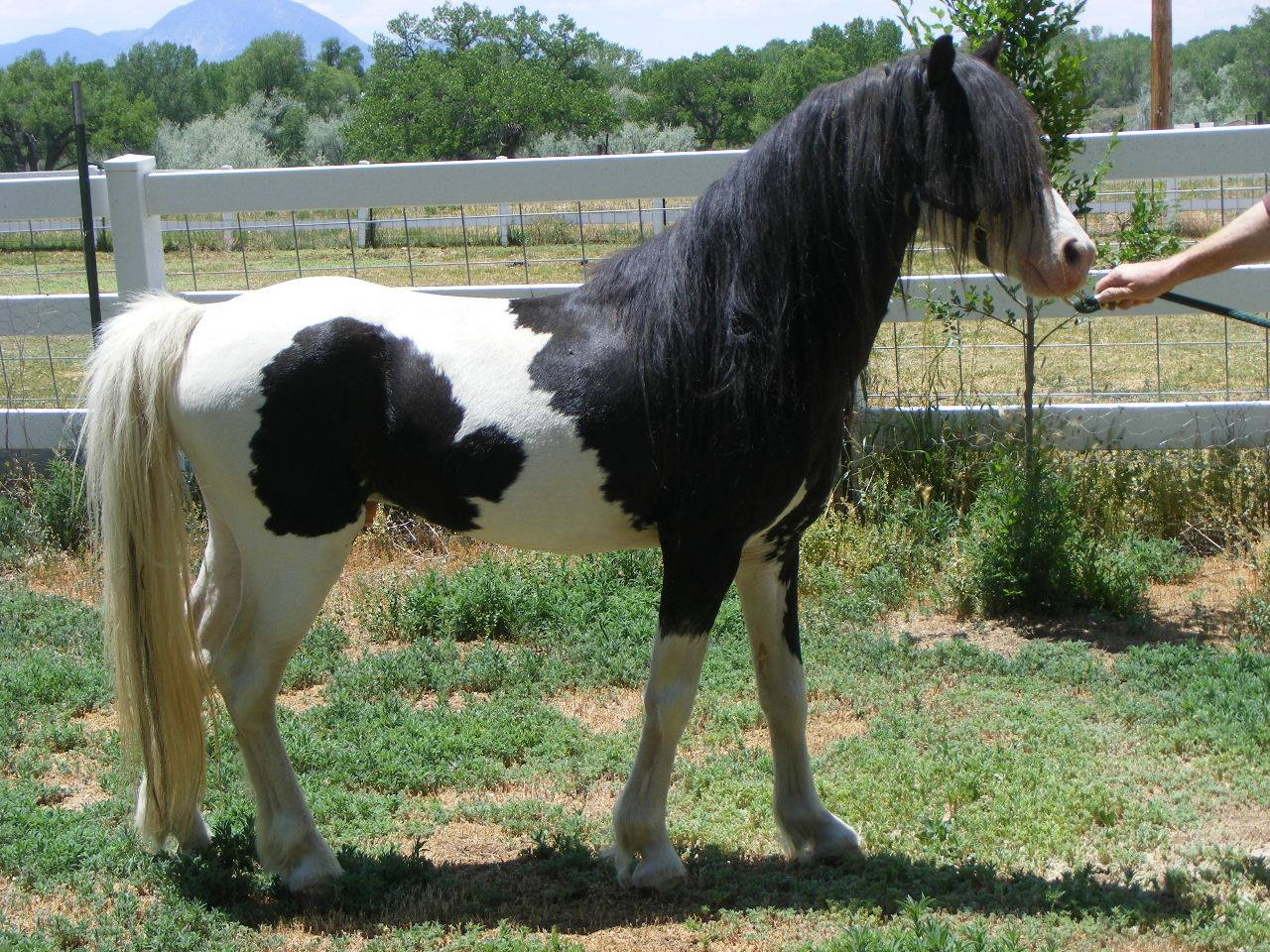 Nistar Chrystell's Naflanowa - Weehaven Welsh Ponies