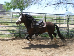 The Promise Monica - Weehaven Welsh Ponies - welsh mountain pony mare for sale Colorado
