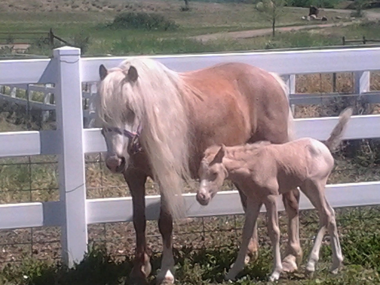 The Promise Phantom of the Opera - Welsh Mountain Pony Mare for Sale
