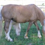 The Promise Phantom of the Opera - Weehaven Welsh Pony for Sale