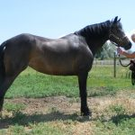 Weehaven Welsh Pony for sale - Copper Penny High Jinx