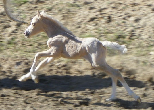 Weehaven's Promise of Gold Welsh Mountain Pony Filly